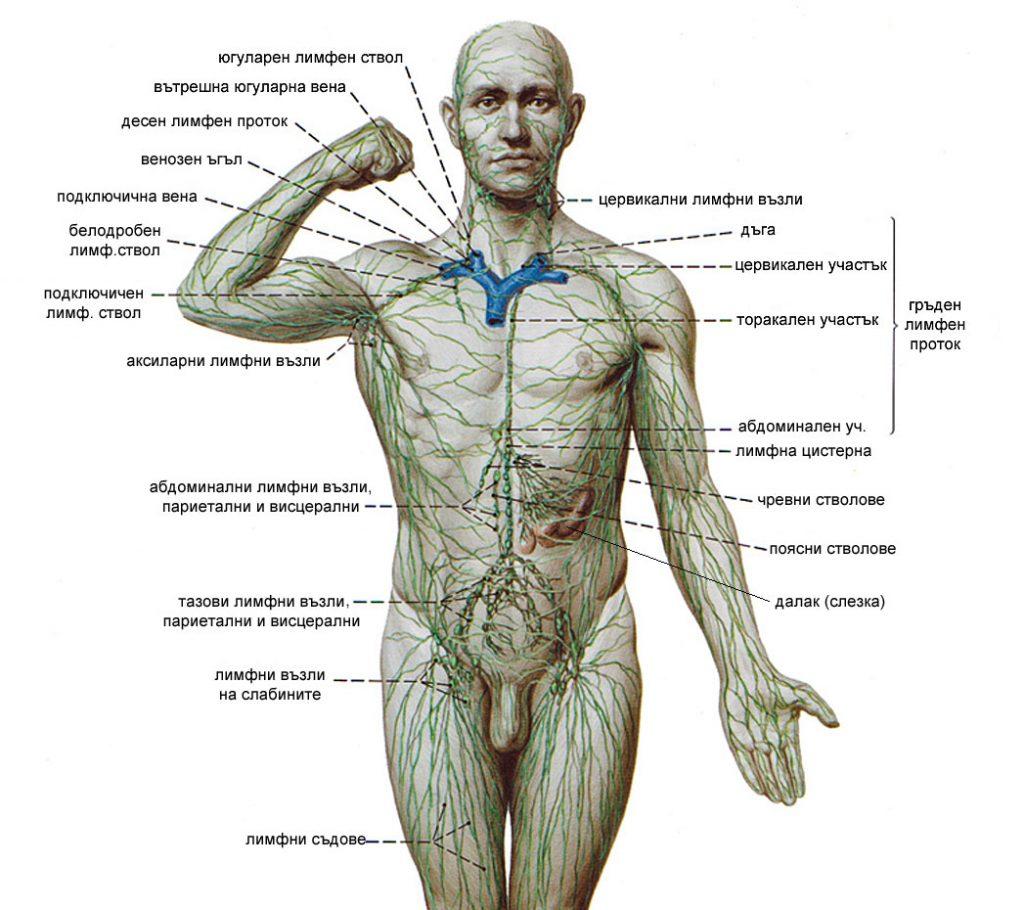 Лимфна система на човек.